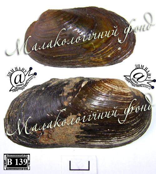Batavusiana crassa. Фотография 38