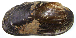 B. crassa. Фото 39