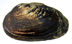 Моллюск мая среди пресноводных моллюсков - Batavusiana crassa (2013 р.)