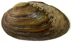 Batavusiana crassa (Philipsson, 1788)