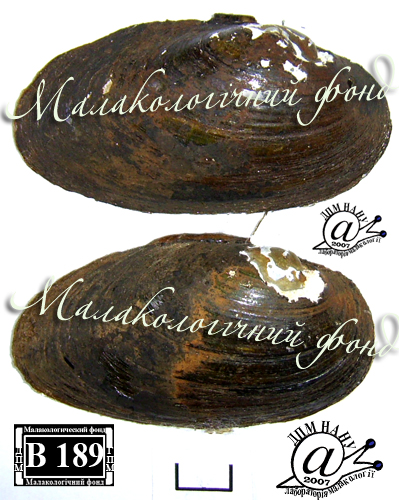 Batavusiana crassa. Фотография 56
