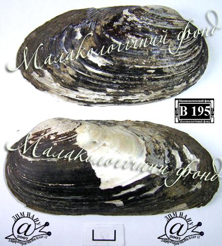 Batavusiana crassa. Фотография 58