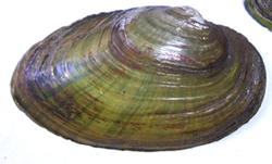 B. crassa. Фото 65