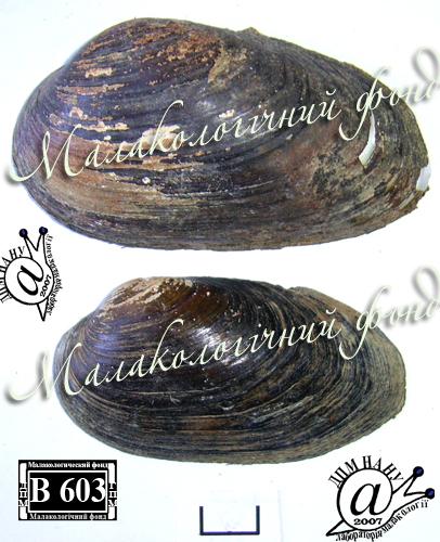 Batavusiana crassa. Фотография 66