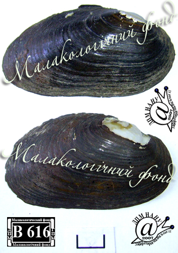Batavusiana crassa. Фотография 68