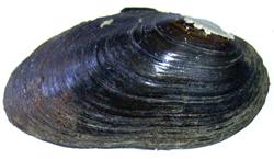 B. crassa. Фото 69