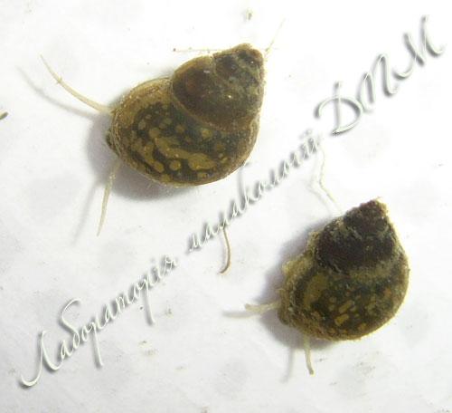 бітінія щупальцева - Bithynia tentaculata