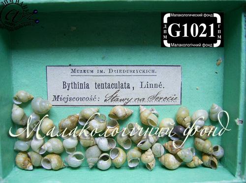 Bithynia tentaculata. Фотография 153
