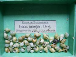 B. tentaculata. Фото 154