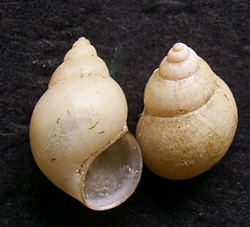B. tentaculata. Фото 158