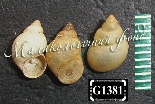 Bithynia tentaculata. Фотография 1163