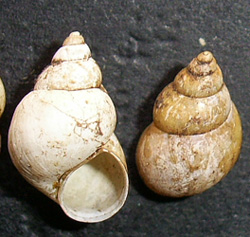 B. tentaculata. Фото 1168