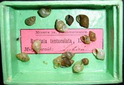 B. tentaculata. Фото 112