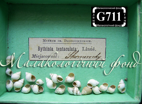 Bithynia tentaculata. Фотография 1127