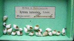 B. tentaculata. Фото 1128