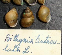 B. tentaculata. Фото 132