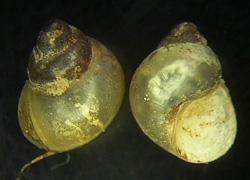 B. tentaculata. Фото 146