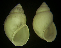 B. tentaculata. Фото 152