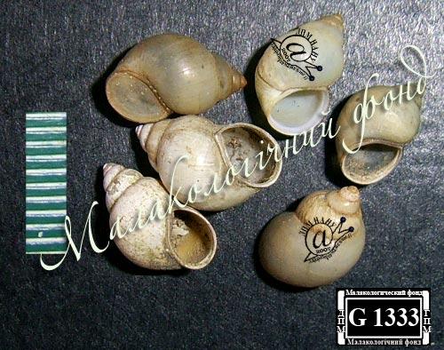 бітінія щупальцева - Bithynia tentaculata (Linnaeus, 1758)