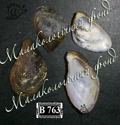 Dreissena bugensis. Фотография 7