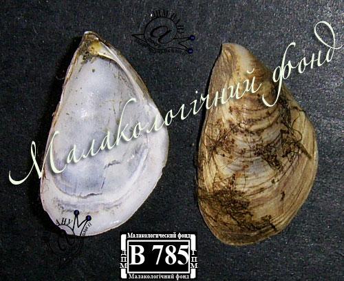 Dreissena bugensis. Фотография 11