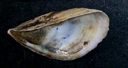 D. polymorpha. Фотография 8