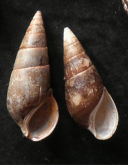 Fagotia acicularis