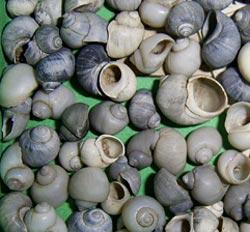 Моллюск августа среди пресноводных моллюсков - Lithoglyphus naticoides (C.Pfeiffer, 1828) (2018 г.)