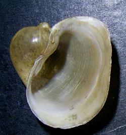 Lymnaea ampla