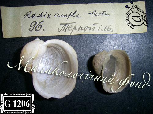 прудовик широкий - Lymnaea ampla