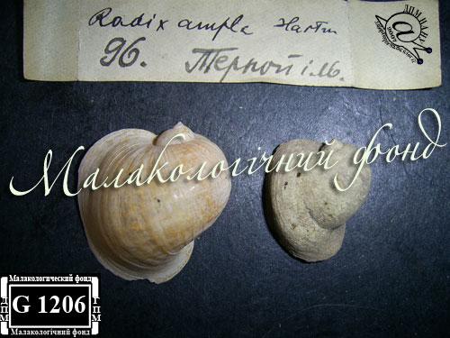 прудовик широкий - Lymnaea ampla (Hartmann, 1821)