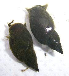 прудовик вороний - L. corvus