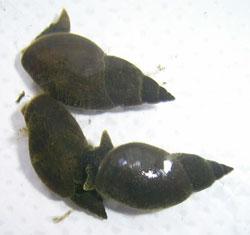 L. corvus. Фото 9