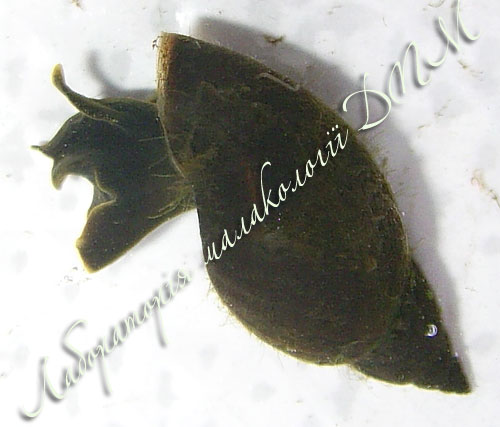 Lymnaea corvus. Фотография 10
