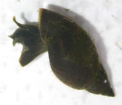 L. corvus. Фото 11
