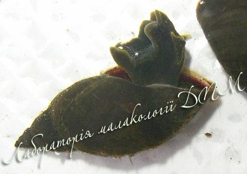 Lymnaea corvus. Фотография 12