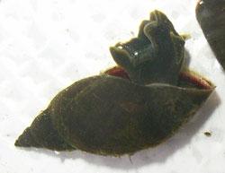 L. corvus. Фото 13