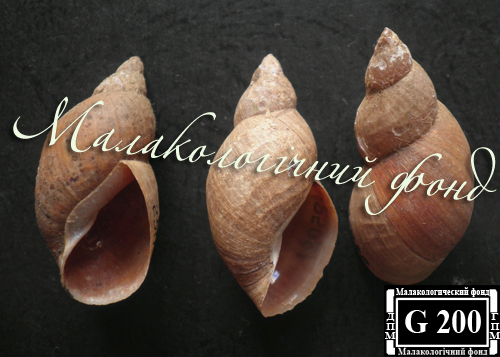 Lymnaea corvus