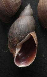 Lymnaea corvus (Gmelin, 1791)