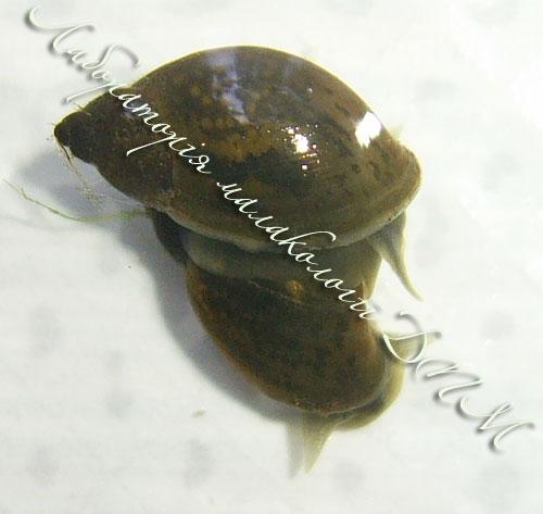 ставковик овальний - Lymnaea ovata
