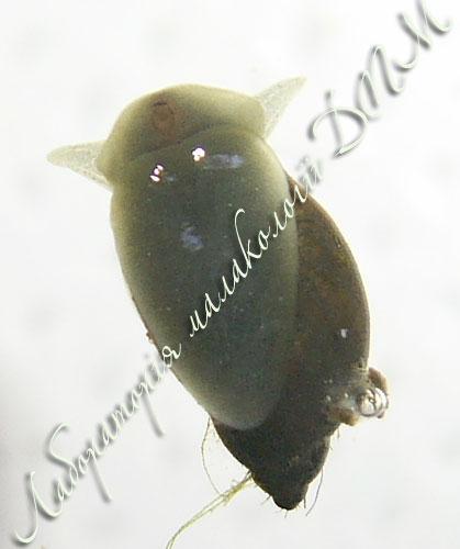 Lymnaea ovata. Фотография 12
