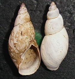 Lymnaea palustris. Фото 70