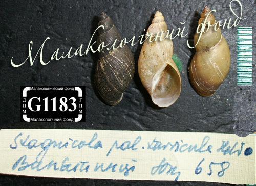 Lymnaea palustris. Фотография 71