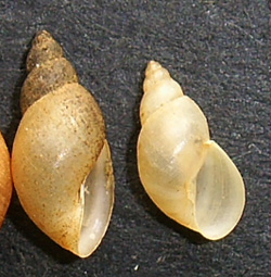 Lymnaea palustris. Фото 74