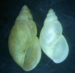 Lymnaea palustris. Фото 76