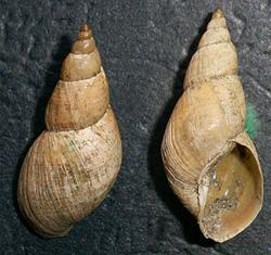 Lymnaea palustris. Фото 78