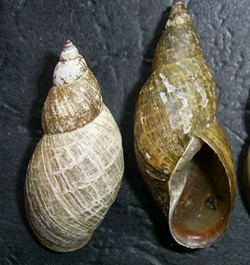 Lymnaea palustris. Фото 82