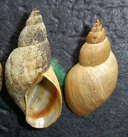 Lymnaea palustris. Фото 84