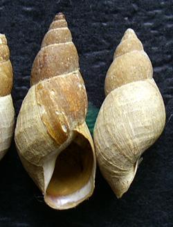 Lymnaea palustris. Фото 86