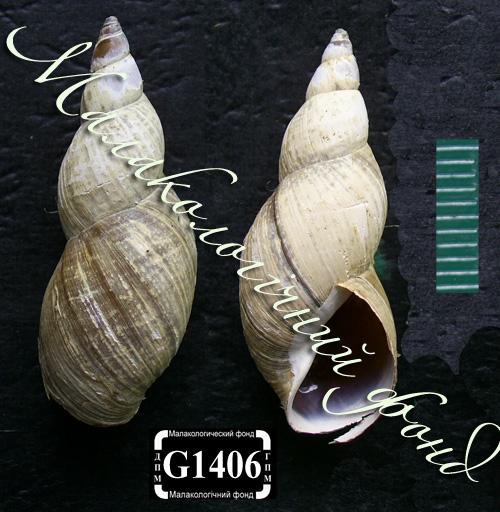 Lymnaea palustris. Фотография 87